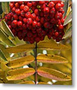 Buffalo Berries Metal Print