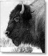 Buffalo Black And White Metal Print