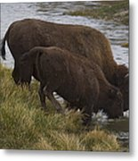Buffalo Cow And Calf Drinking 0468 Photograph By J L