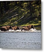 Buffalo Crossing - Yellowstone National Park - Wyoming Metal Print