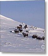Buffalo Herd In Snow   #6075 Metal Print