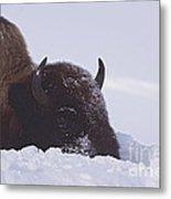 Buffalo In Snow   #6920 Metal Print