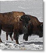 Buffalo In Snow Metal Print
