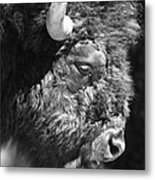 Buffalo Portrait Metal Print