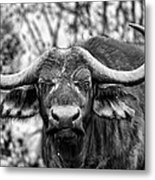 Buffalo Stare In Black And White Metal Print