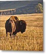 Buffalo Watching Metal Print