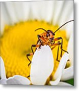 Bug On A Daisy Metal Print