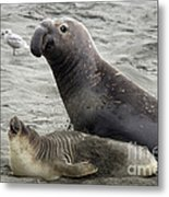 Bull Approaches Cow Seal Metal Print by Mark Newman
