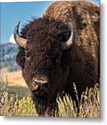 Bull Bison Metal Print