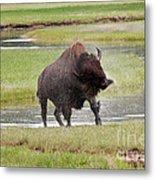 Bull Bison Shaking In Yellowstone National Park Metal Print