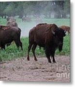 Bull Buffalo Guarding Herd With Green Grass Metal Print