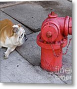 Bull Dog And The Fire Hydrant Standoff Metal Print