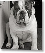 Bull Dog At Door Metal Print