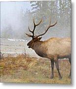 Bull Elk Bugles Loves In The Air Metal Print