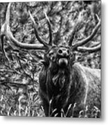 Bull Elk Bugling Black And White Metal Print