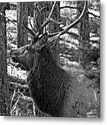 Bull Elk Bw Metal Print