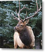 Bull Elk By Blue Spruce Metal Print