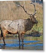 Bull Elk Crossing River Metal Print
