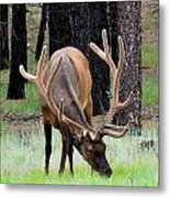 Bull Elk Grazing Metal Print by Carrie Putz