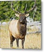 Bull Elk IIII Metal Print