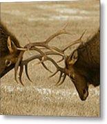 Bull Elk In The Rut   #8924 Metal Print