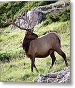 Bull Elk In Velvet Metal Print