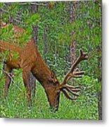 Bull Elk Near Maligne Canyon In Jasper Np-alberta Metal Print