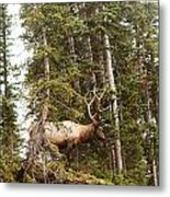 Bull Elk Stands Guard Metal Print