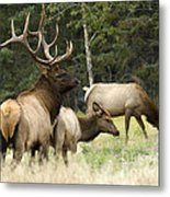 Bull Elk With His Harem Metal Print by Bob Christopher