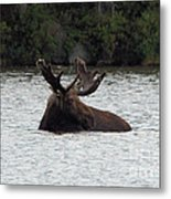 Bull Moose - 3587 Metal Print