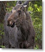 Bull Moose   #5654 Metal Print
