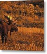 Bull Moose At Sunset Metal Print
