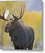 Bull Moose In Autumn Metal Print
