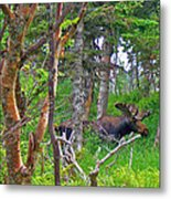 Bull Moose In Cape Breton Highlands Np-ns Metal Print