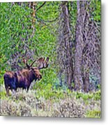 Bull Moose In Gros Ventre Campground In Grand Tetons National Park-wyoming Metal Print