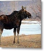 Bull Moose In Late Winter #1 Metal Print