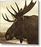 Bull Moose In Sepia Metal Print