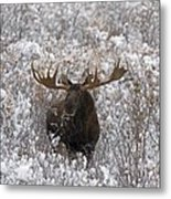 Bull Moose In Snow Metal Print