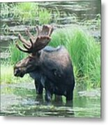 Bull Moose In The Wild Metal Print by Feva  Fotos