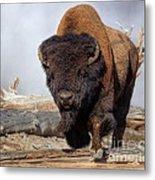 Bull Strut Metal Print