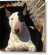Bull Terrier Dog Metal Print