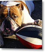 Bulldog And Ball Metal Print by DerekTXFactor Creative