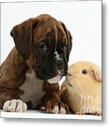 Bulldog Puppy With Yellow Guinea Pig Metal Print