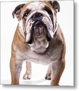 Bulldog Standing, Facing Camera Metal Print