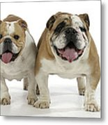 Bulldogs, Male And Female Metal Print