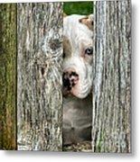 Bull's Eye - English Bulldog Metal Print