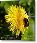 Bumble Bee And Dandelion Metal Print