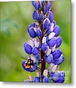 Bumble Bee And Lupine Metal Print