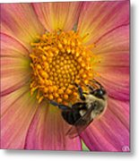 Bumble Bee Dahlia Metal Print