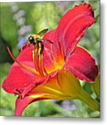 Bumble Bee In Day Lily 109 Metal Print